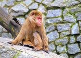 Sitting monkey — Stock Photo
