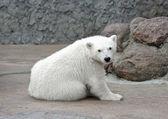 Malý osamělý docela bílý lední medvěd — Stock fotografie