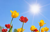 Tulipanes en día soleado — Foto de Stock