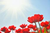 Red tulips under sun — Stock Photo