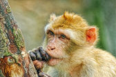 Funny monkey put fingers into mouth — ストック写真