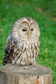 Lazy owl — Stockfoto
