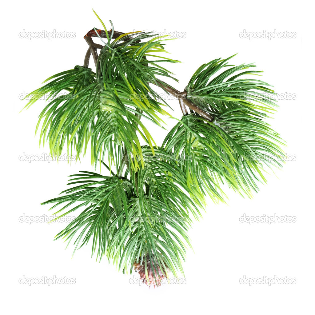 Close up of fir tree branch isolated on white — Stock Photo #10017003