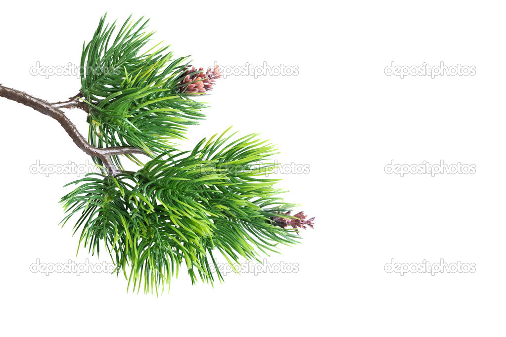 Close up of fir tree branch isolated on white — Stock Photo #10017005