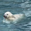 Little white polar bear in water — Stock Photo