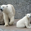 White polar bears — Foto Stock