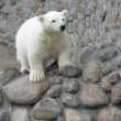 Little pretty white polar bear — Stock Photo #10129681