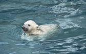 Kleine witte ijsbeer in water — Stockfoto