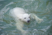 Little polar bear swimming — Stock Photo