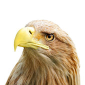 Eagle head — Stock Photo