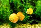 Little fishes in aquarium — Stock Photo