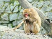 Osamělý opice jí kus kůry — Stock fotografie