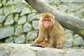 Smutný opice — Stock fotografie