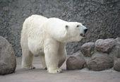 Polar bear female — Stock Photo
