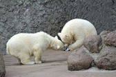 Two little polar bears play soccer — Stock Photo