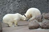 Zwei kleine eisbären spielen fußball — Stockfoto