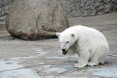 Little white polar bear — Stock Photo