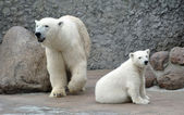 White polar bears — Stock Photo