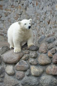 Little pretty white polar bear — Stock Photo