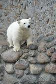Ursinho polar branco — Foto Stock