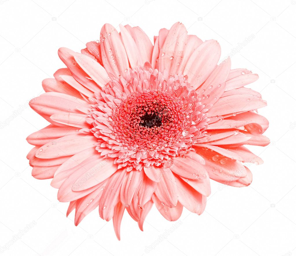 One pink gerber flower with dew isolated — Stock Photo #10129873