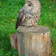Stock Photo: Lazy owl