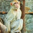 Sad sitting monkey — Stock Photo