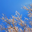 Tree branches in snow — Stock Photo