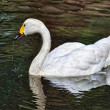 White swan in lake — Stock Photo