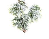 Altijdgroene vuren kerstboom — Stockfoto
