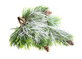 Evergreen spruce tree with fresh snow isolated — Stock Photo