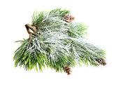 Wiecznie zielone drzewo z świeży śnieg na białym tle — Zdjęcie stockowe