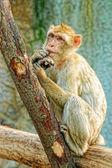Macaco engraçado colocar os dedos na boca — Foto Stock
