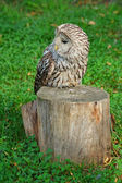 Lazy owl — Stock Photo