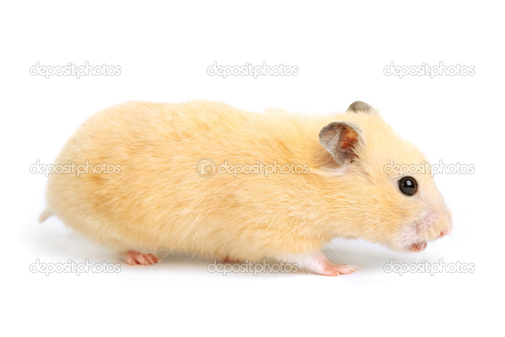 Hamster isolated on white background — Stock Photo #10130460