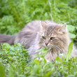 Stock Photo: Cat lays on a grass