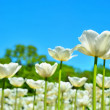 Many of white tulips in garden — Stock Photo