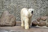 Bílý polární medvěd voní vzduch — Stock fotografie