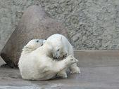 Dwa niedźwiedzie polarne trochę walki — Zdjęcie stockowe