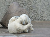 Two little polar bears fighting — Stock Photo