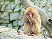 Monkey eats something — Stock Photo