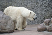 Female of polar bear — Stock Photo