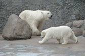 Familia de osos polares blancos — Foto de Stock