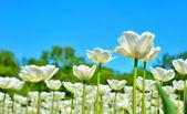 Many of white tulips in garden — Stock Photo