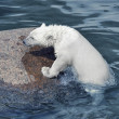 Little white polar bear in cold ocean near stone — Stockfoto