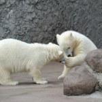 Two little polar bears play — Stock Photo