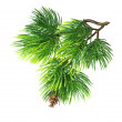 Close up of fir tree branch isolated — Stock Photo #10472805