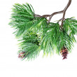 Fir tree branch isolated — Stock Photo #10472806