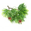 Close up brunch of of fir tree isolated on white — Stock Photo #10472807