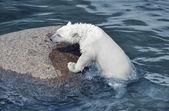Malý bílý lední medvěd v studeného oceánu poblíž stone — Stock fotografie